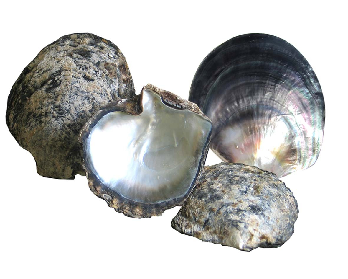 Natural grey shell